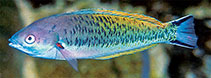 Image of Pseudocoris hemichrysos (Yellowfin wrasse)